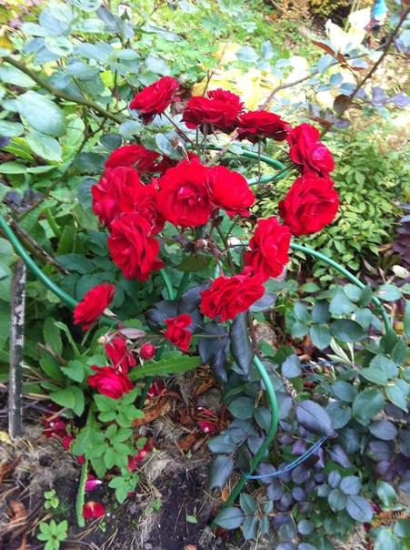 Надо ли обрезать розы, если они еще цветут?