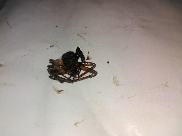 Что это за паук и не опасен ли он