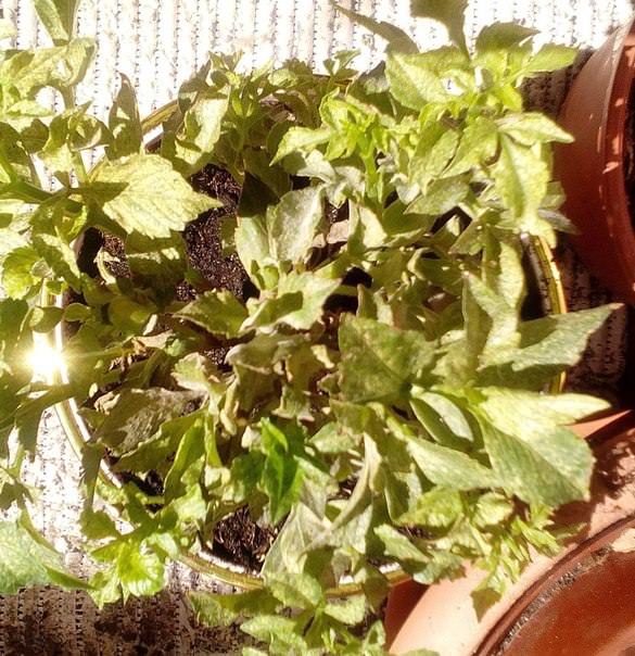 Что делать, если после пересадки на листьях георгина появились пятна