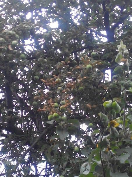Почему листья на яблоне стали коричневыми