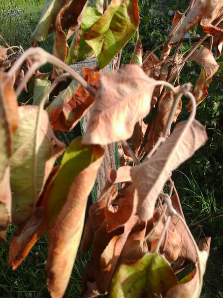 Почему у яблони коричневеют листья