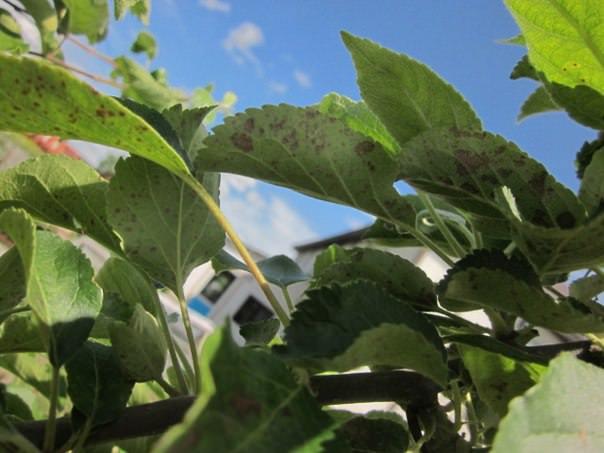 Почему на листьях яблони появились пятна
