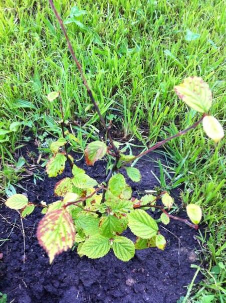 Почему краснеют листья войлочной вишни