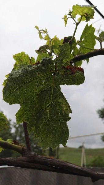 Что случилось с виноградом