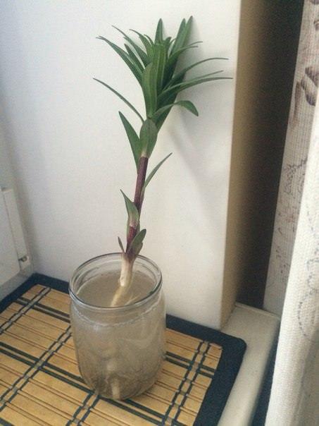 Будет ли расти лилия, если у нее оторвалась луковица