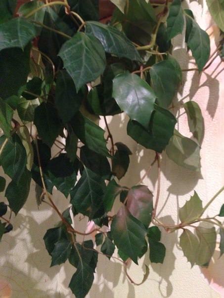 Почему на листьях березы появились ржавые пятна