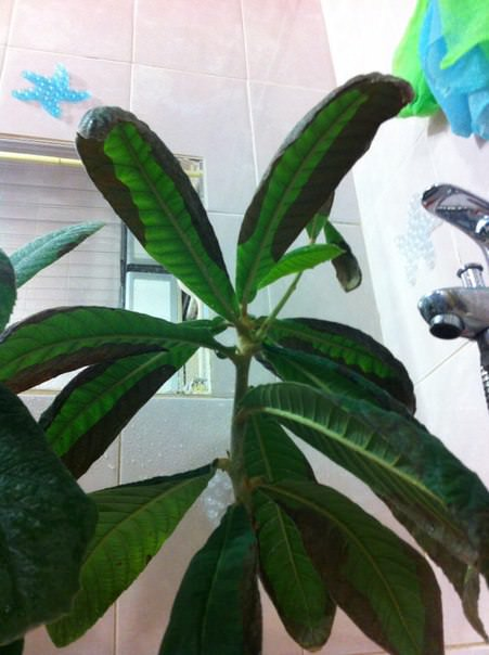 Почему у мушмулы потемнела кромка листьев