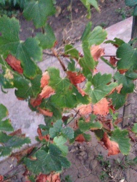 Что с виноградом и как его лечить