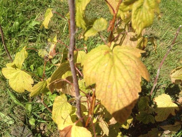 Почему пожелтели листья смородины и крыжовника