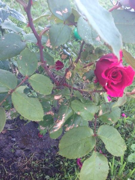 Почему желтеют листья розы, крыжовника и смородины