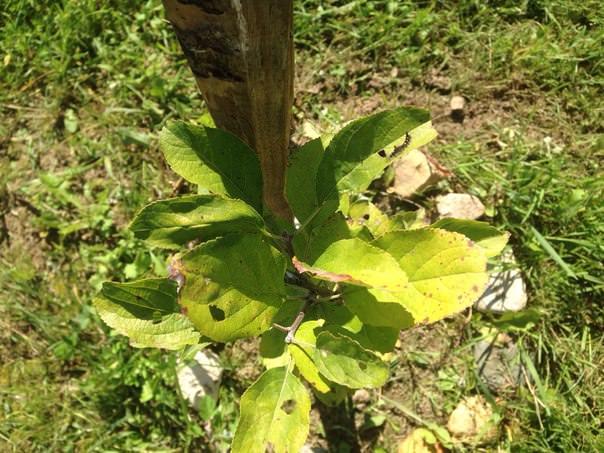 Почему листья сливы скручиваются