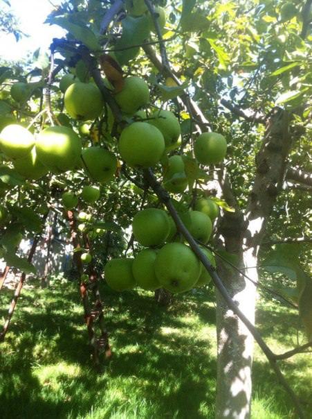 Средство, как иметь урожай яблок каждый год