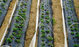 Https://www.dreamstime.com/stock-photo-cultivation-strawberry-bali-berries-sprouts-indonesia-image84934079
