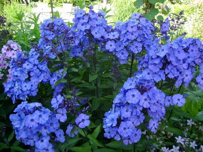 Многолетние цветы уход за ними 90