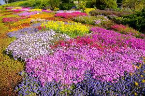 Цветущие почвопокровные многолетники: описание