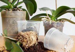 Способы реанимации орхидеи