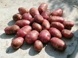 Картофель «Лабелла»: описание и правила выращивания