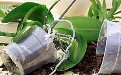 Воздушные корни орхидеи: заболевания и способы восстановления