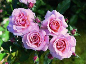 Особенности сорта и правила посадки морщинистой розы