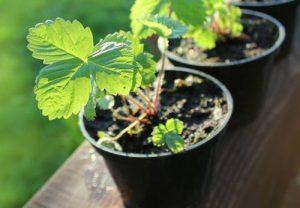 Нюансы посева семян и выращивания рассады земляники и клубники в домашних условиях