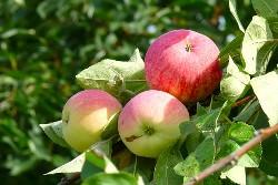 Яблоня Розовый жемчуг: необычный сорт с розовыми плодами