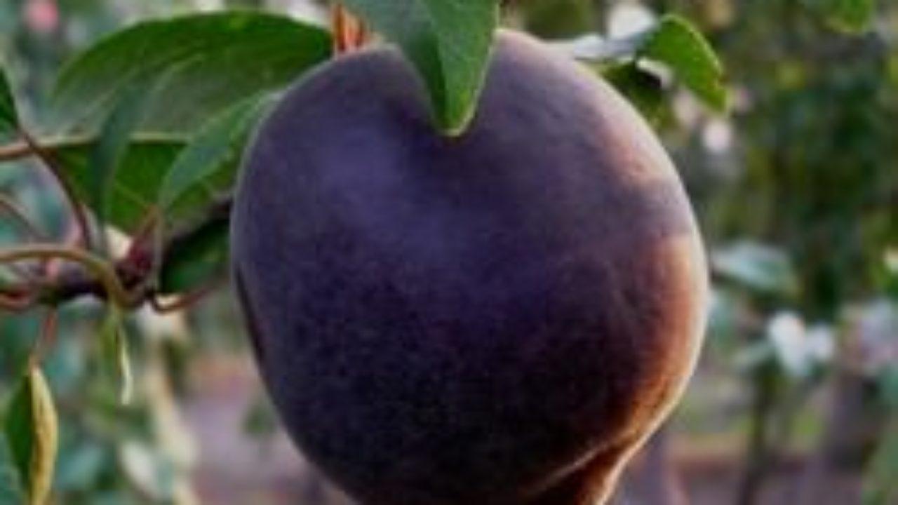 чёрный абрикос описание фото