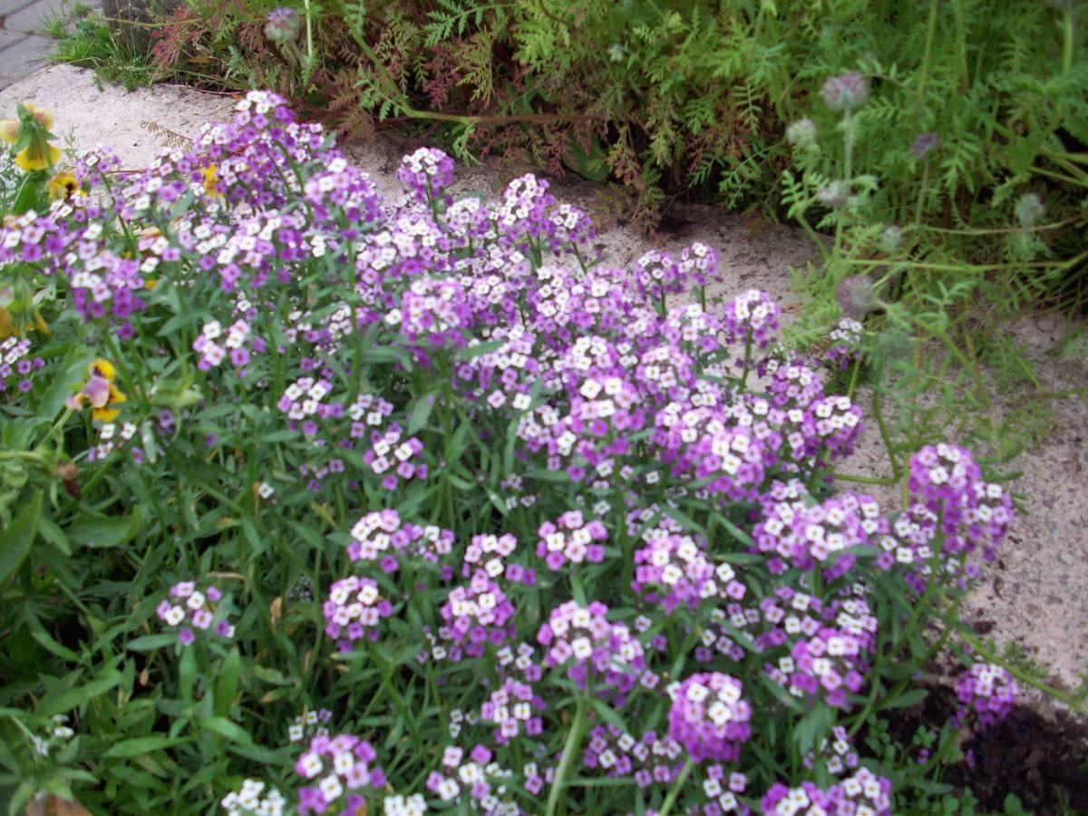 Алиссум: фото и рекомендации по его выращиванию