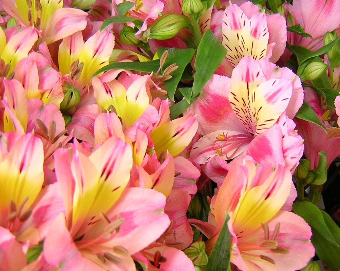 как выглядит цветок альстромерия