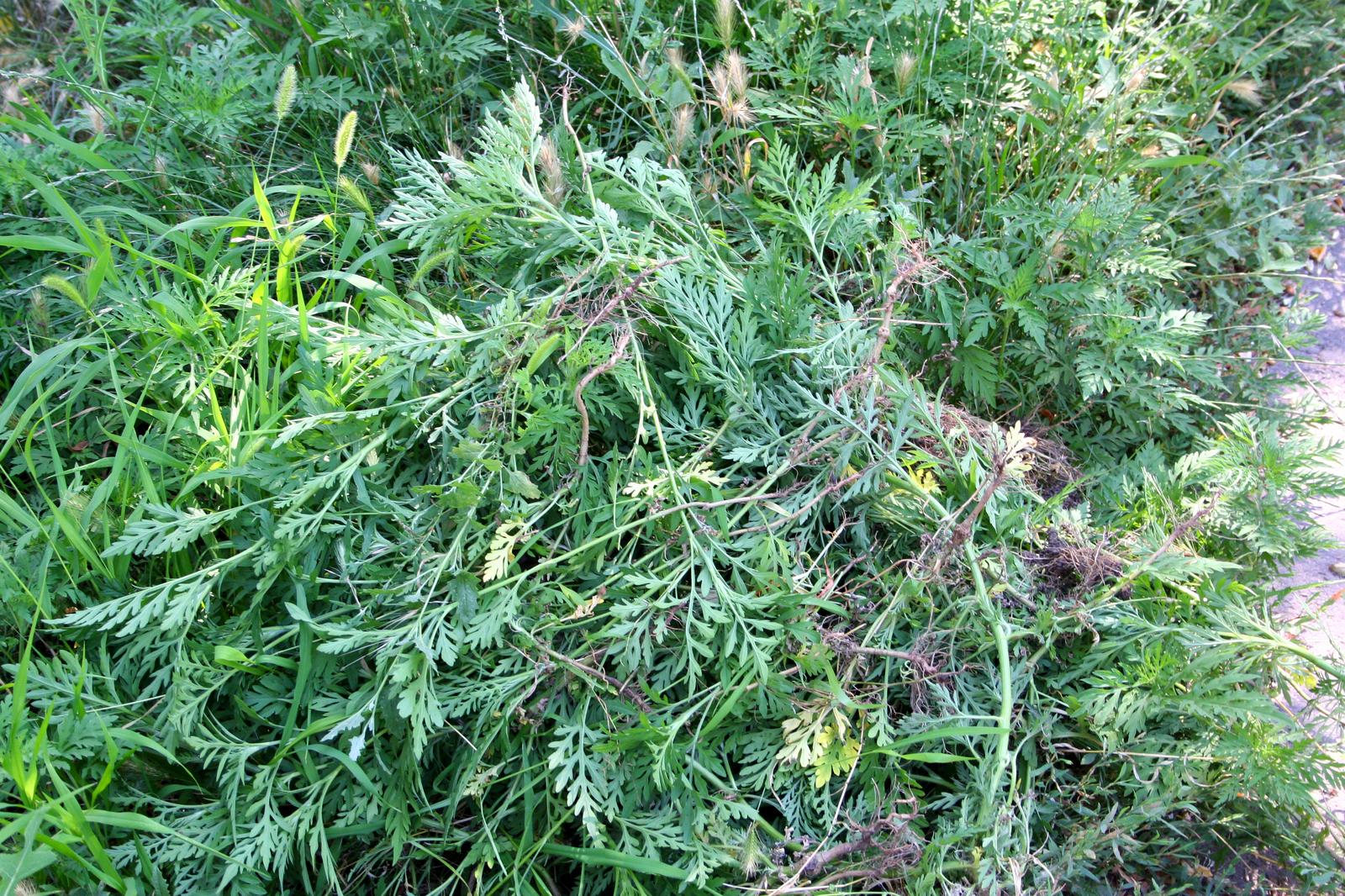 Амброзия растение. Описание, особенности, вред и борьба с амброзией. Сорняк амброзия аллергия