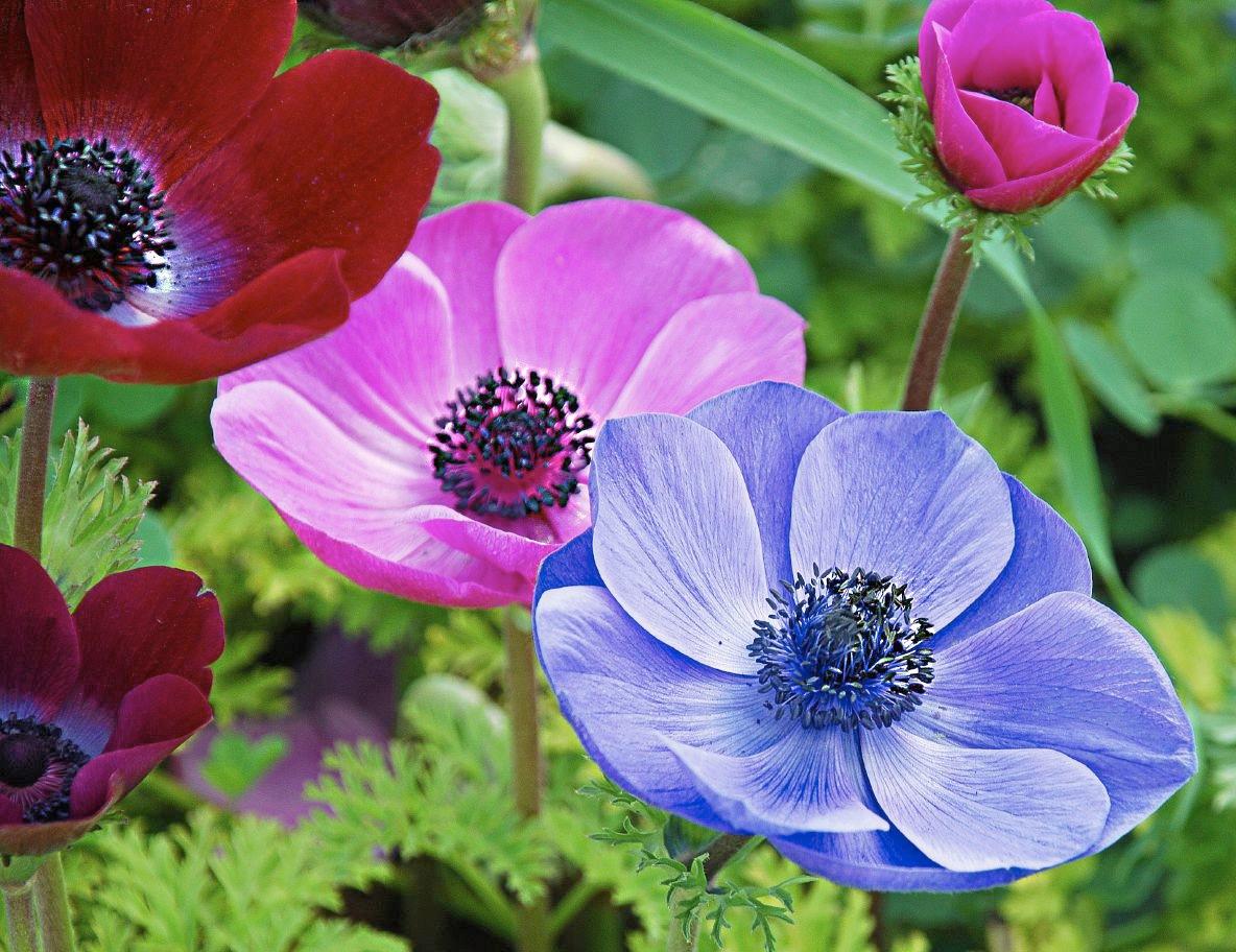 Цветок анемона – посадка и уход, фото анемоны, выращивание анемоны и виды: анемона корончатая, махровая и т 209