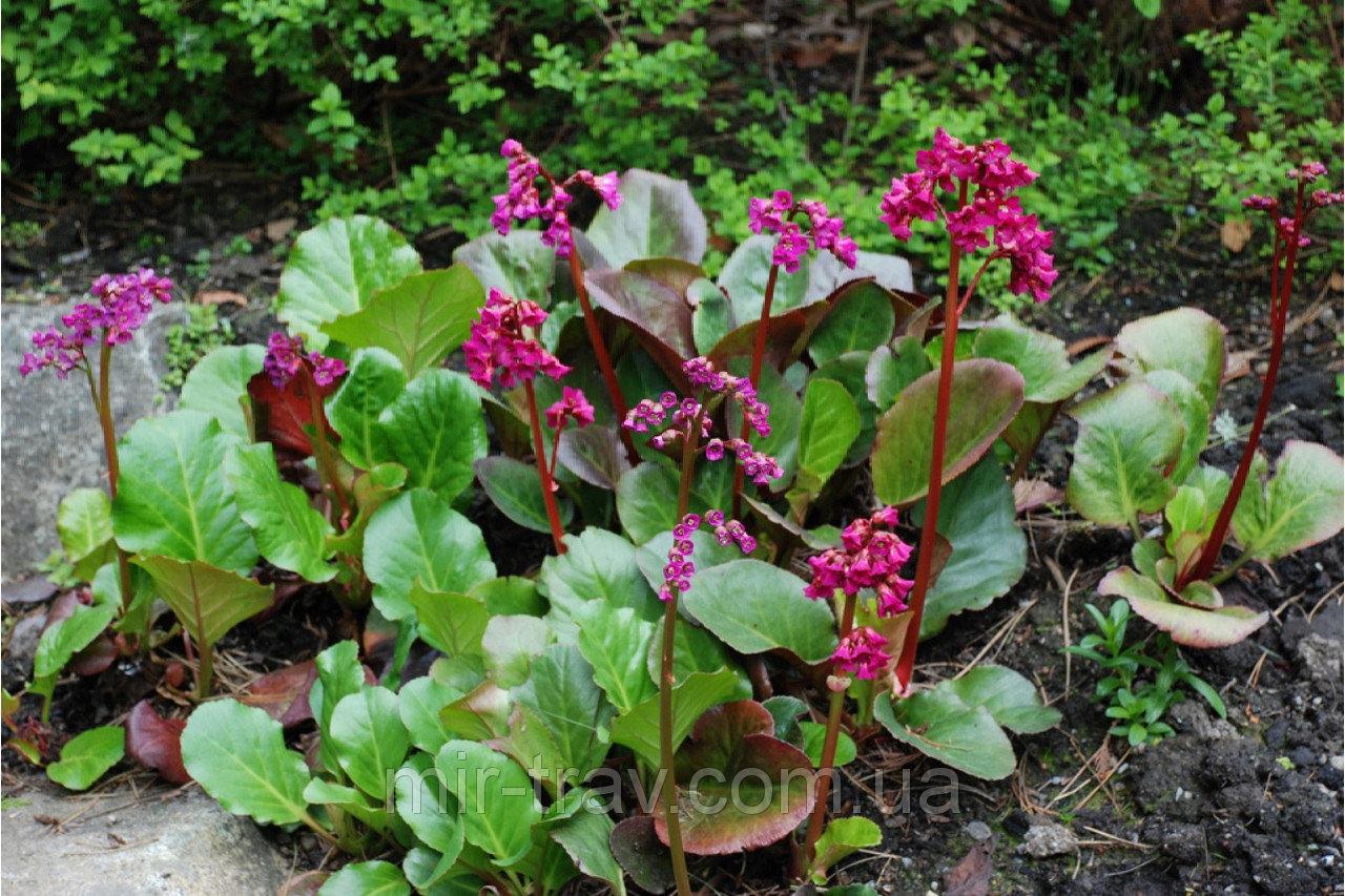 Бадан: описание растения, его применение в ландшафтном дизайне