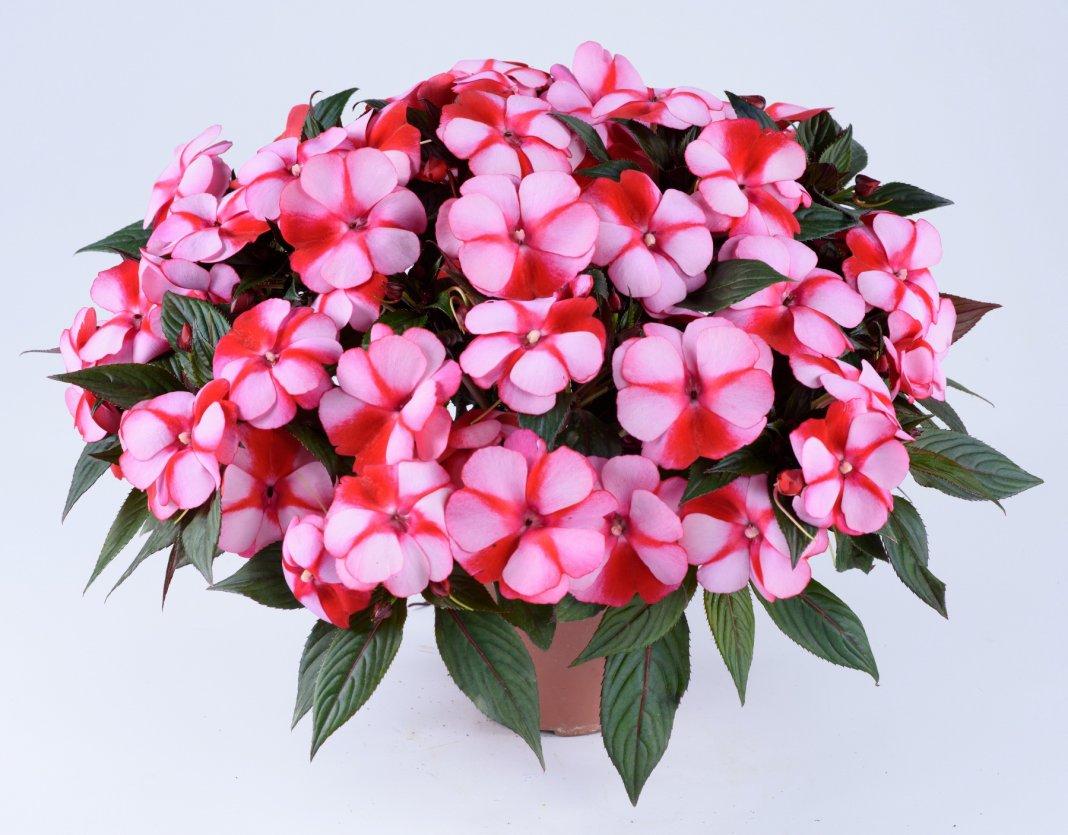 картинка комнатный цветок бальзамин днем