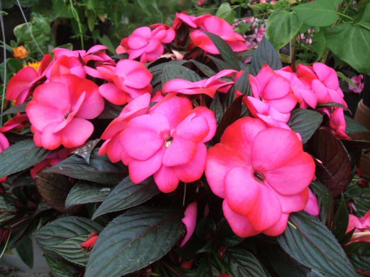 Комнатные цветы бальзамин и уход за ним