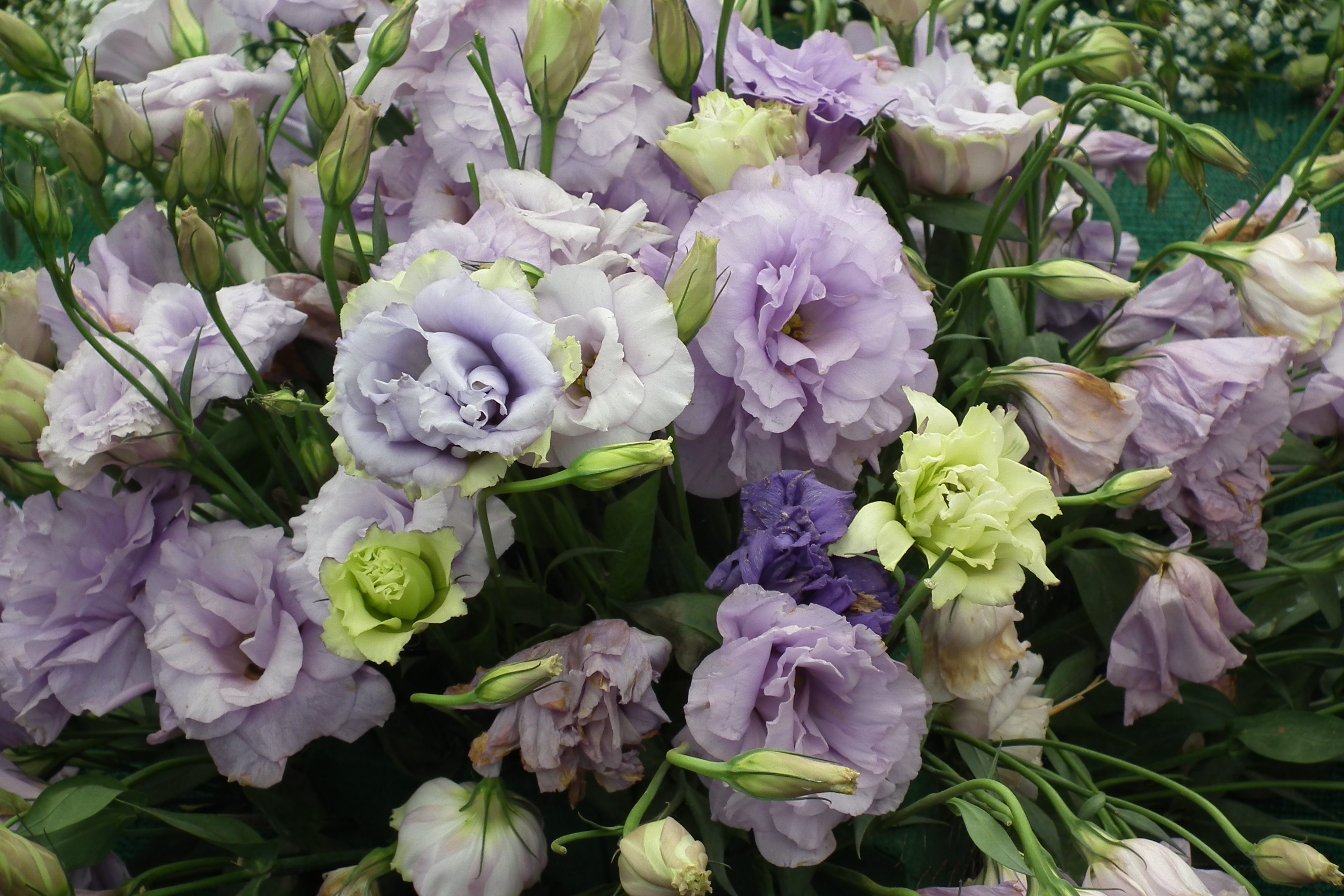 Эустомы цветы фото и названия