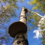 Дар природы - березовый гриб чага, обладающий полезными свойствами