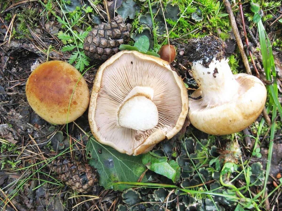 толстушка гриб фото и описание самой облачной