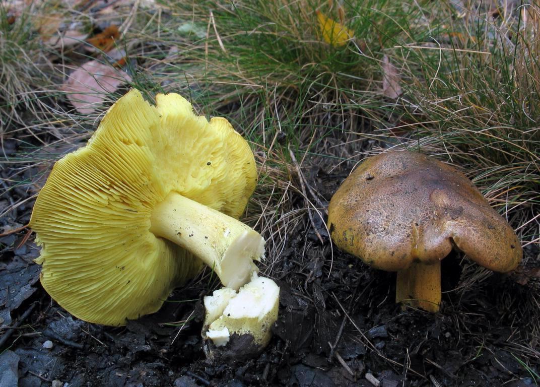 Фото грибы гуски и курки нашем