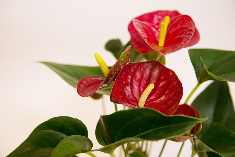 Антуриум, Уход, цветение, размножение, Цветы мечты