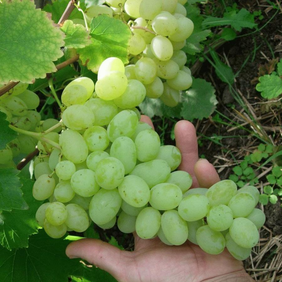 Картинка винограда лора