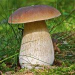 Гриб боровик- описание и периоды роста, разновидности и формы, употребление и ложный двойник