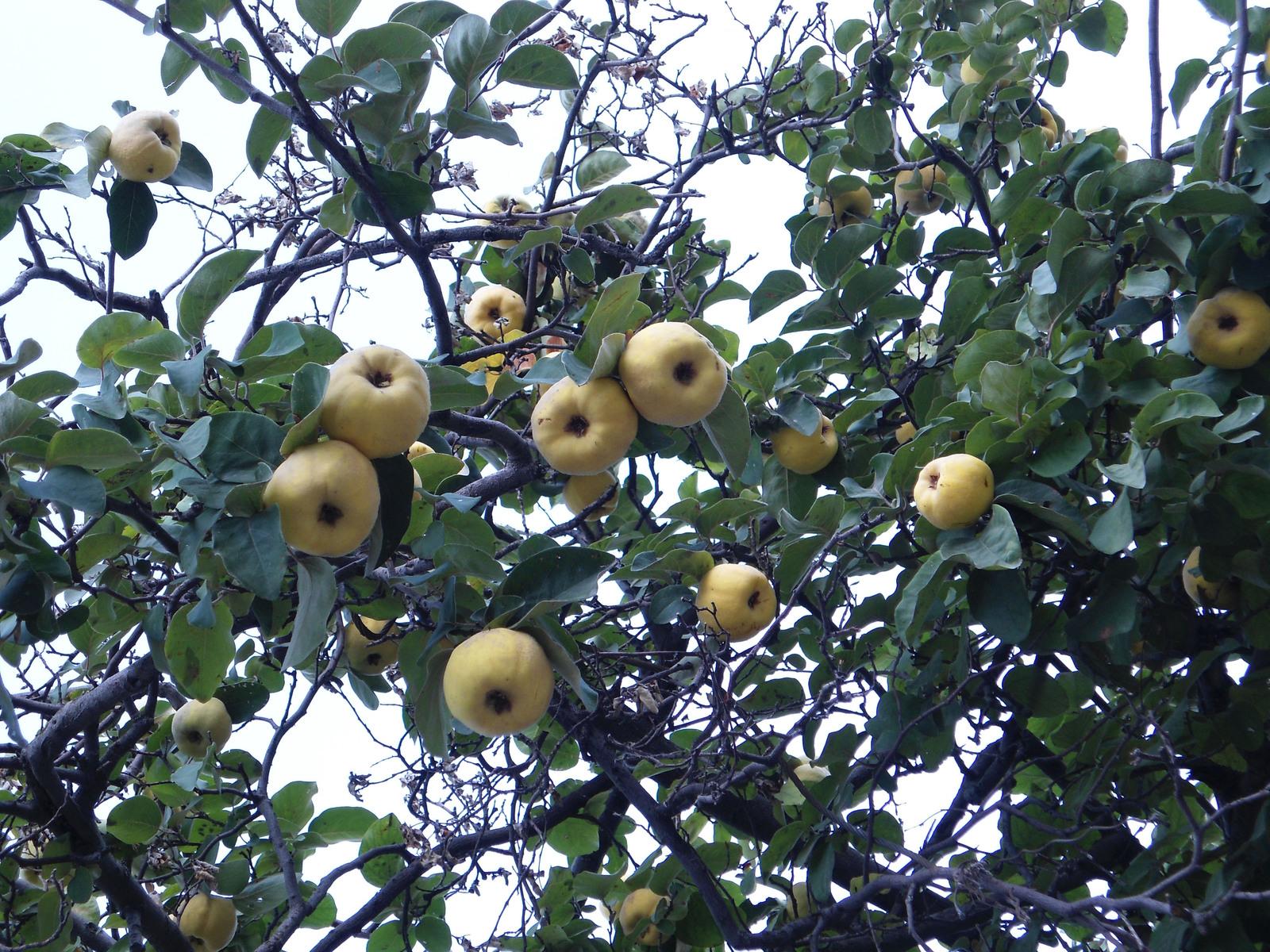 Айва: уход и выращивание, виды и правила посадки