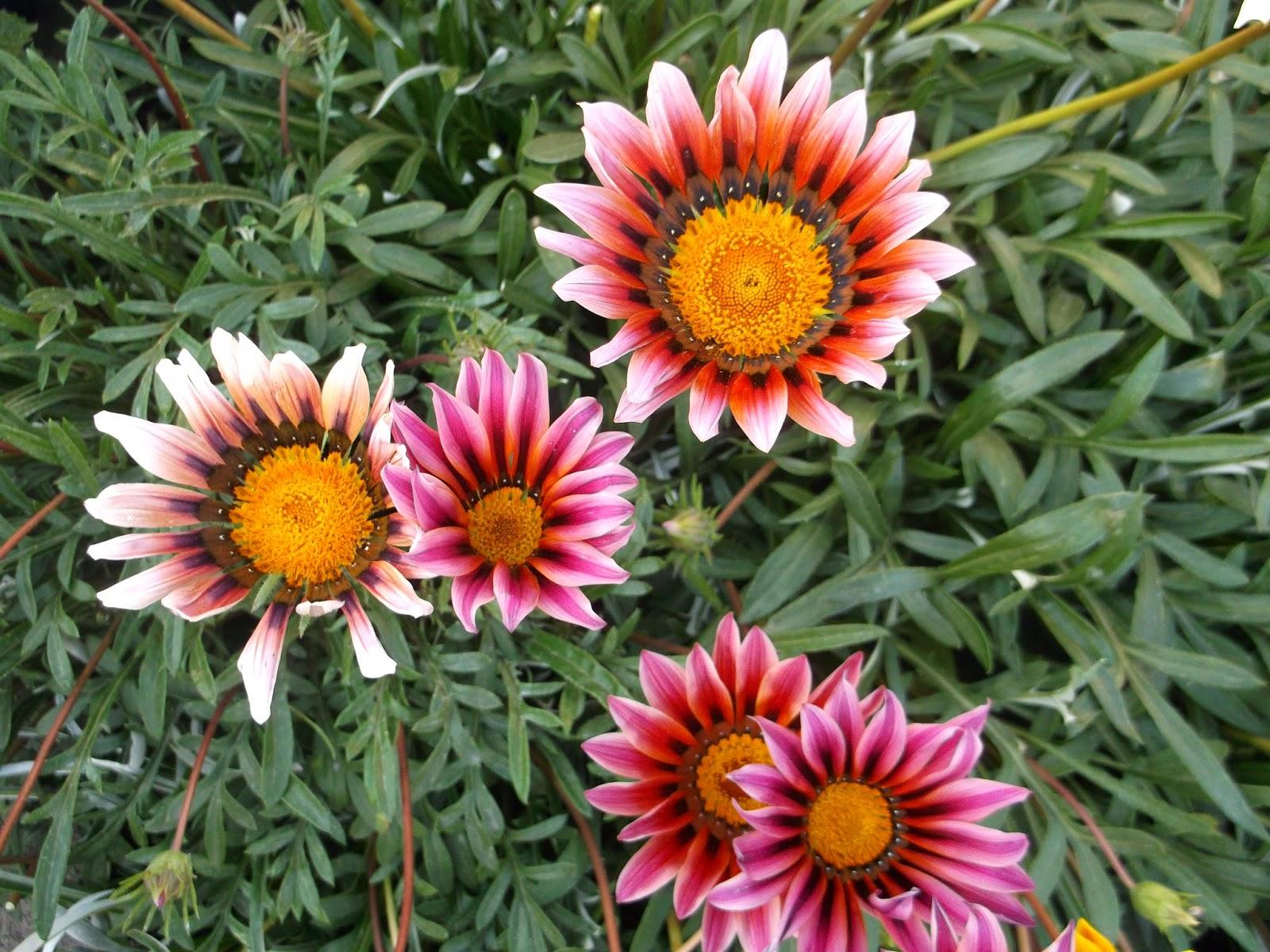 Газания что за цветок