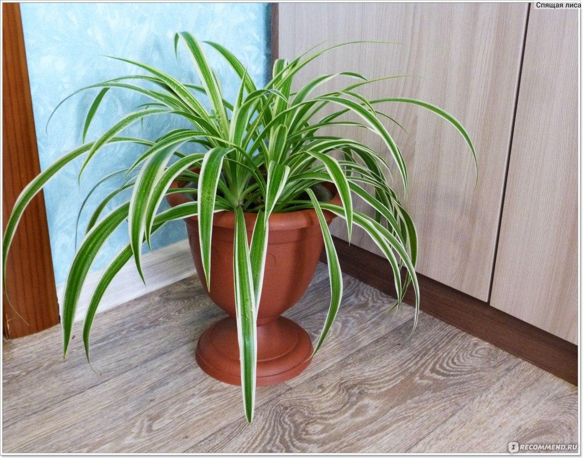 рыночного магната хлорофитум фото комнатный польза и вред возможности замочить рис