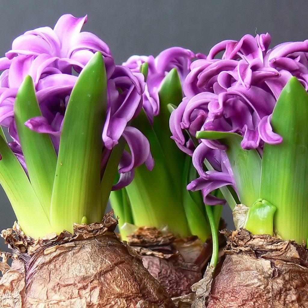 Луковичный цветок длинный с