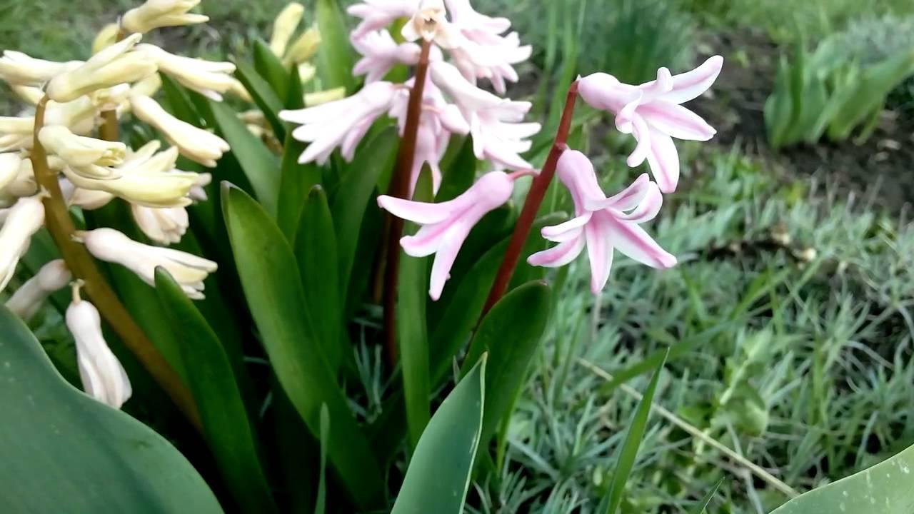 Названия и фото луковичных садовых цветов