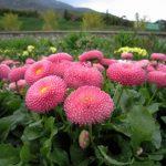 Маргаритки выращивание и уход в домашних условиях - Блог Анатолия Кузнецова