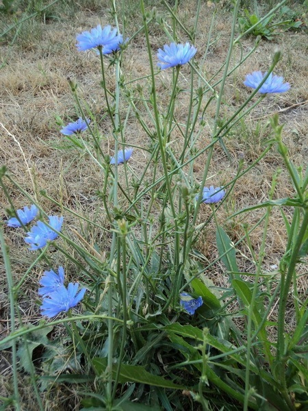 цикорий растение фото