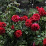 Роза Леонардо да Винчи фото и описание, рекомендации по выращиванию, применение в декоре сада,