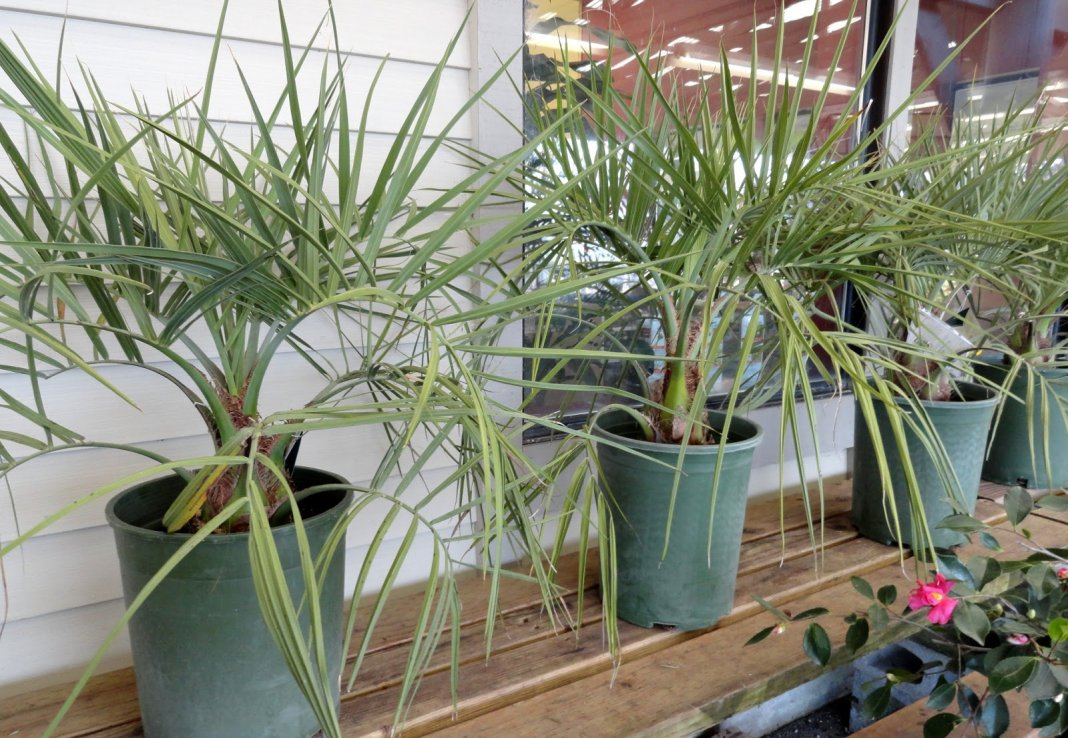 Название цветов пальмы и фото