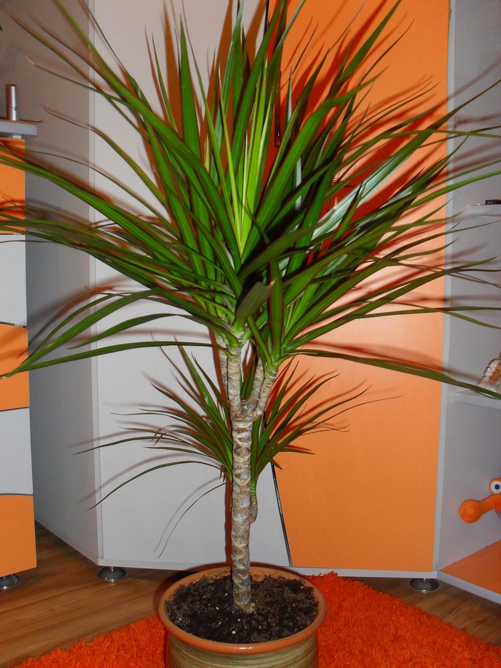 Фото пальмовых комнатных цветов с названиями